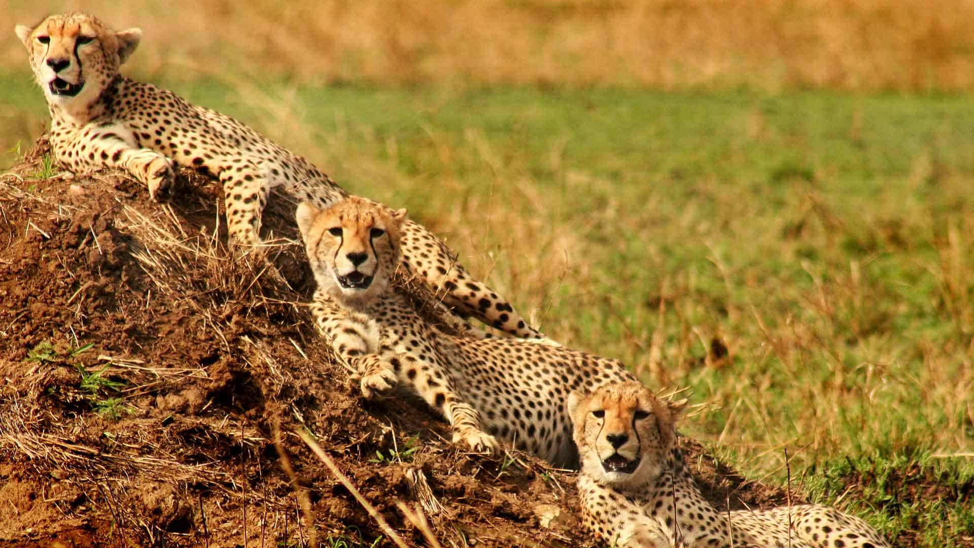 three cheetahs relaxing on a mound in the serengeti on safari trips to africa