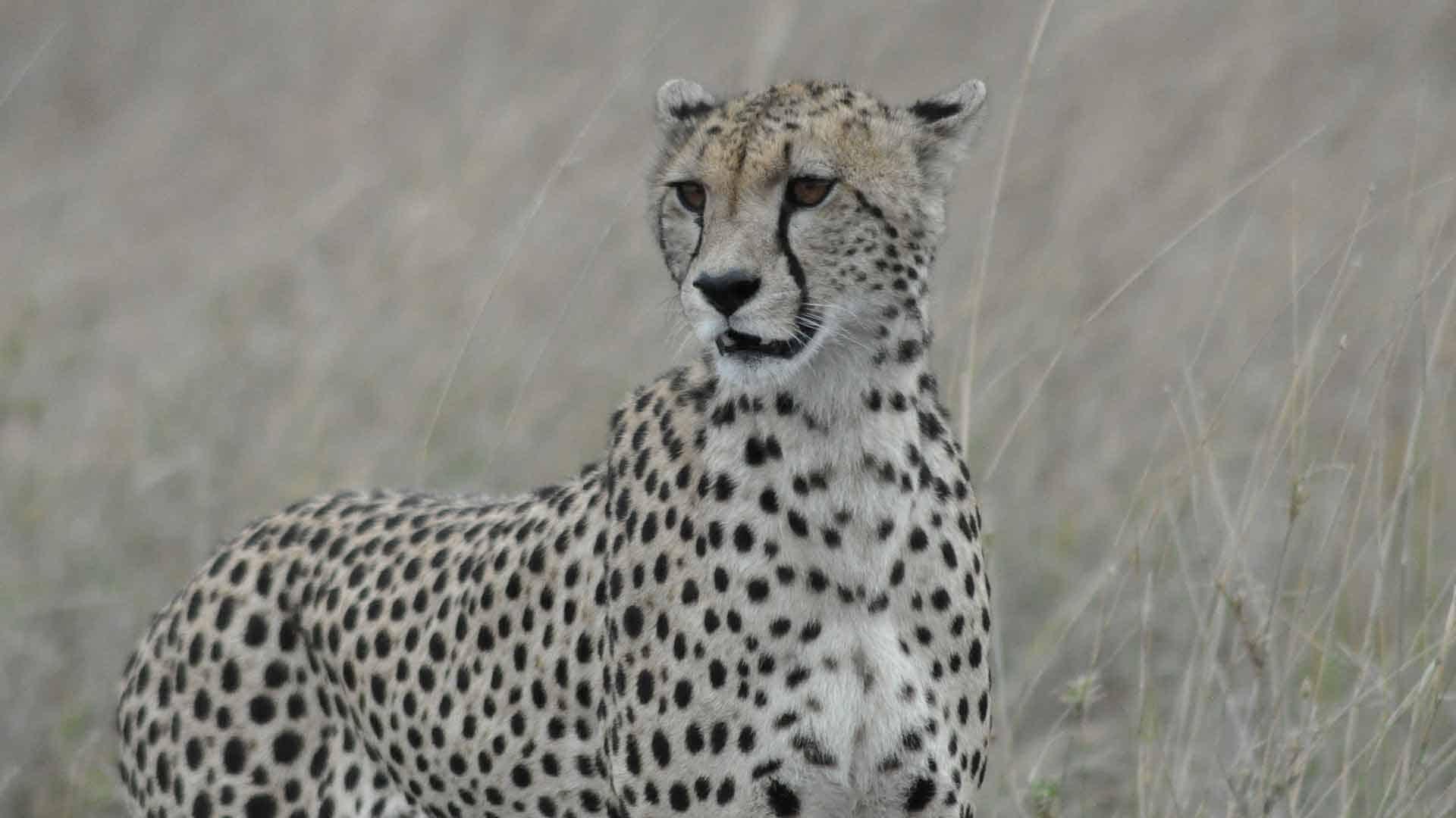 Cheetah walking through long grass on Great Migration safari