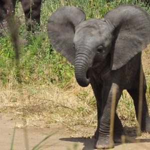 Youn Elephant with big ears on safari tour to Africa