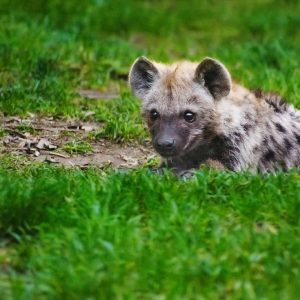 Hyena cub hiding in the green grass on great migration african safari