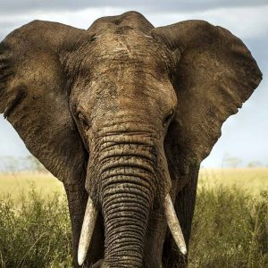 Large elephant stands alone on a safari tour to Serengeti