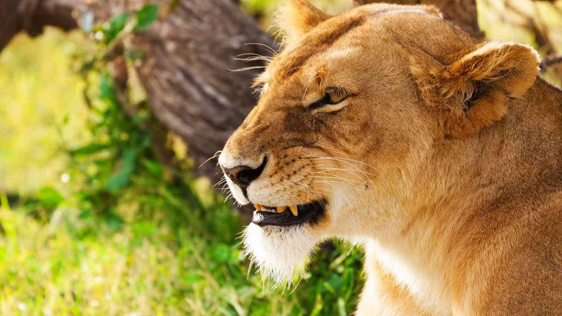 Lioness sitting in the sunshine at Lake Manyara NP