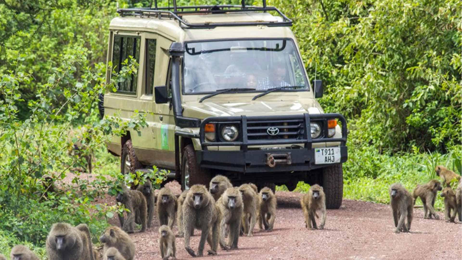 Safari vehicle following a troup of monkeys along a road on safari tours to Tanzania