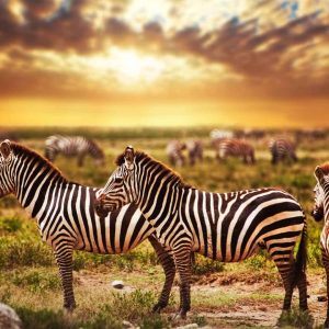 3 zebra standing in serengeti on safari tour to Tanzania