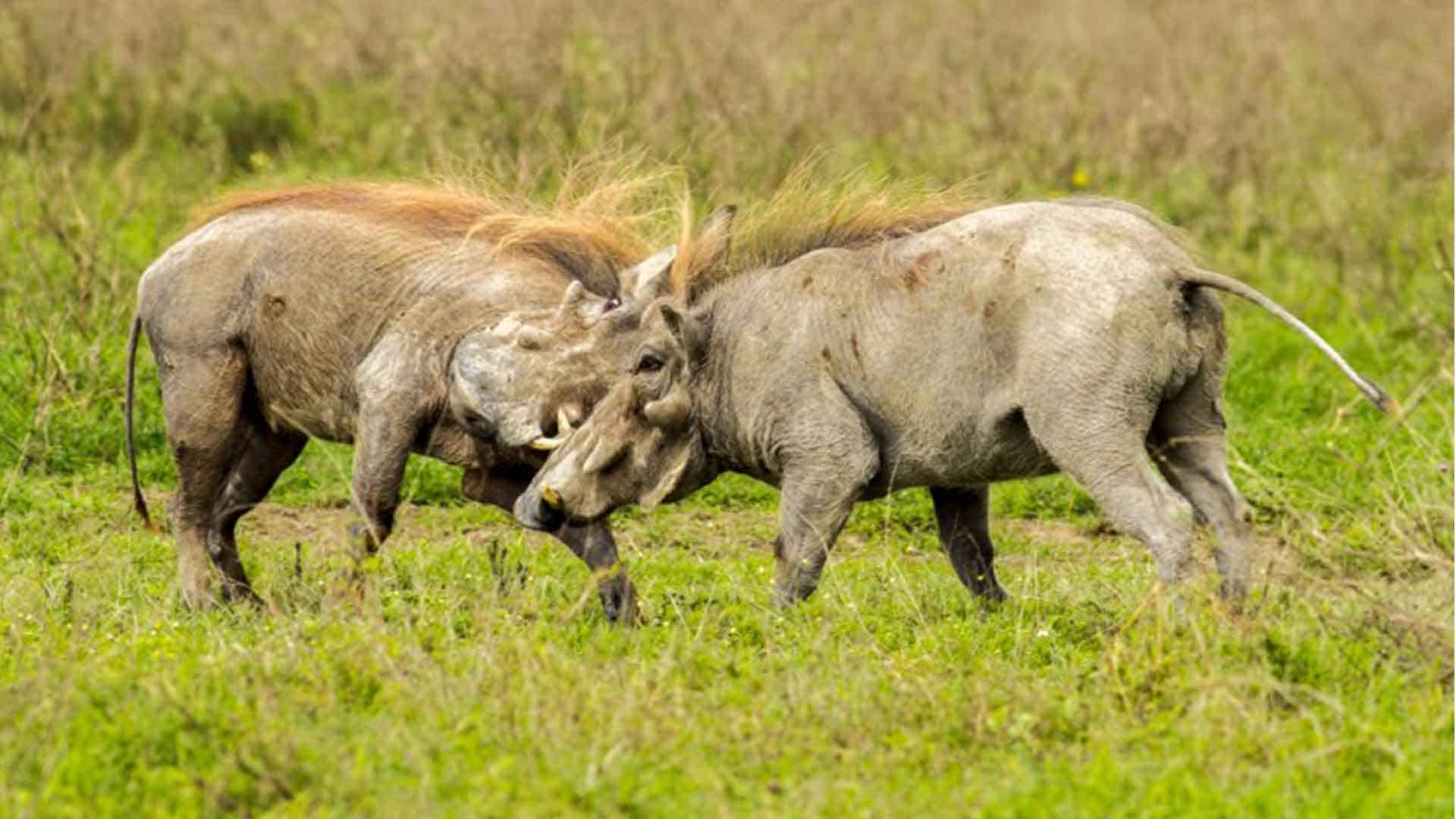 warthogs fighting together on safari tour of africa