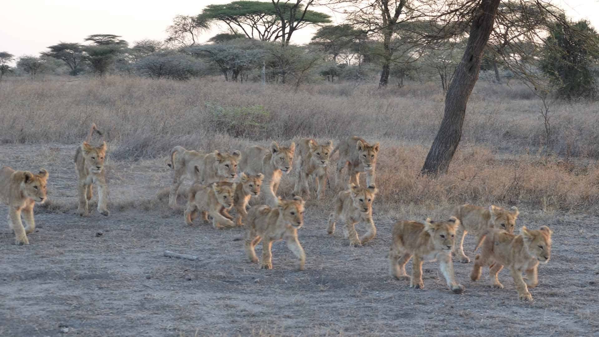 Lion cubs running to the sound of their mothers on safari trip to Africa