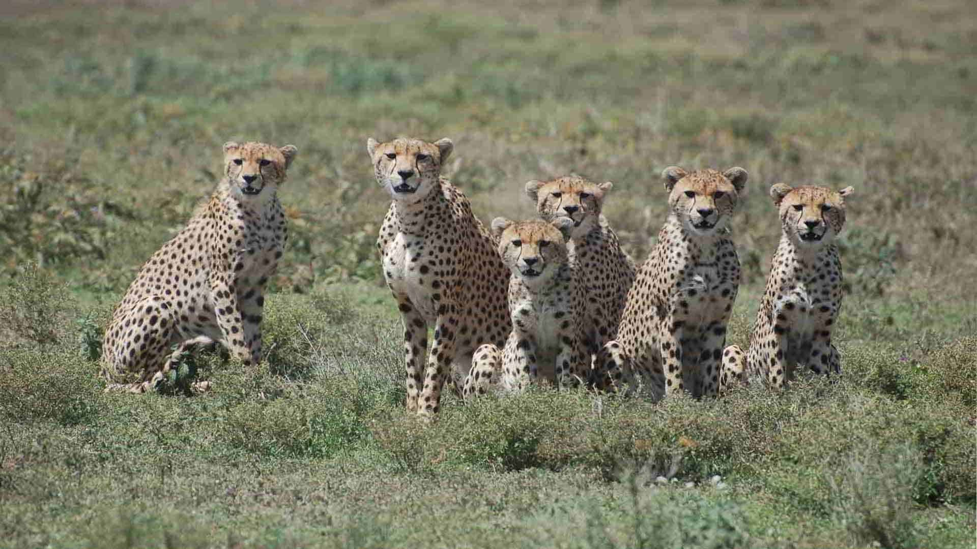 family of hungry cheetaha looking for their next meal on the serengeti planes on Tanzania safari