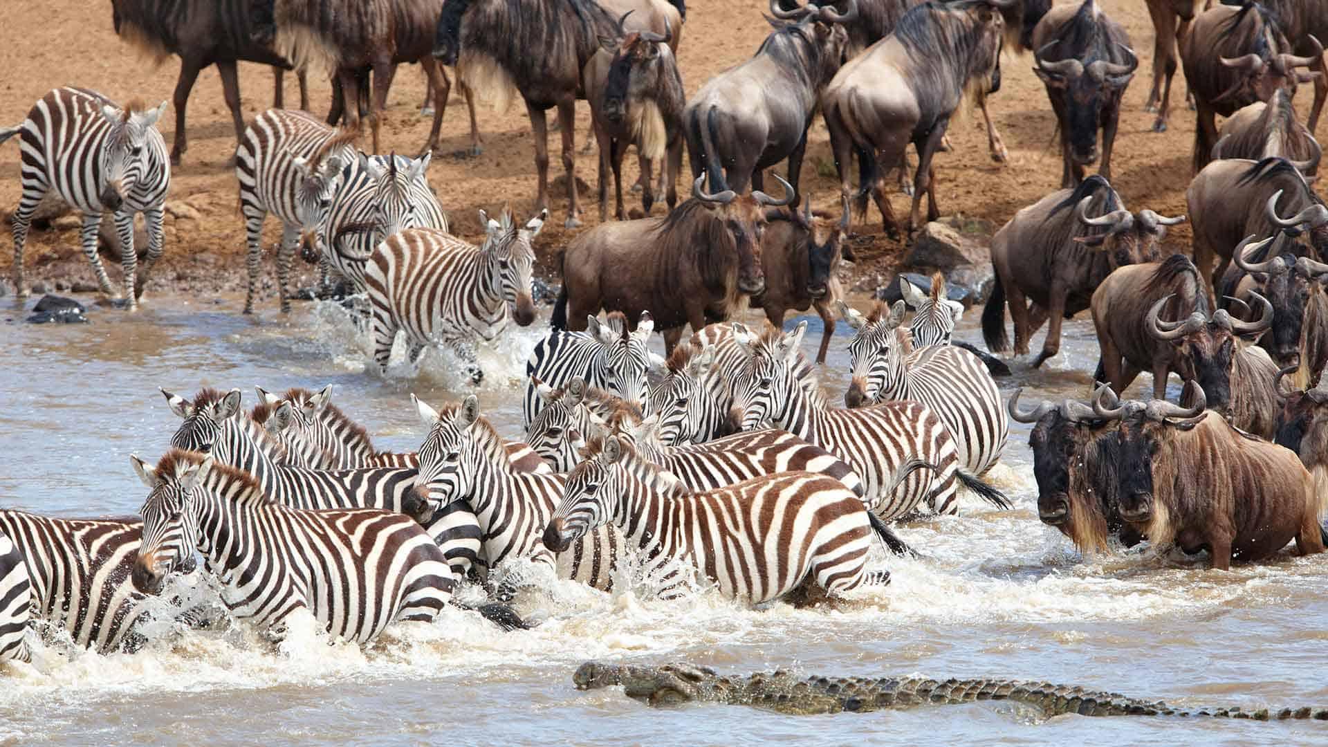 Wildebeest and zebra crossing Mara River in Tanzania, crocodile moving in for attack