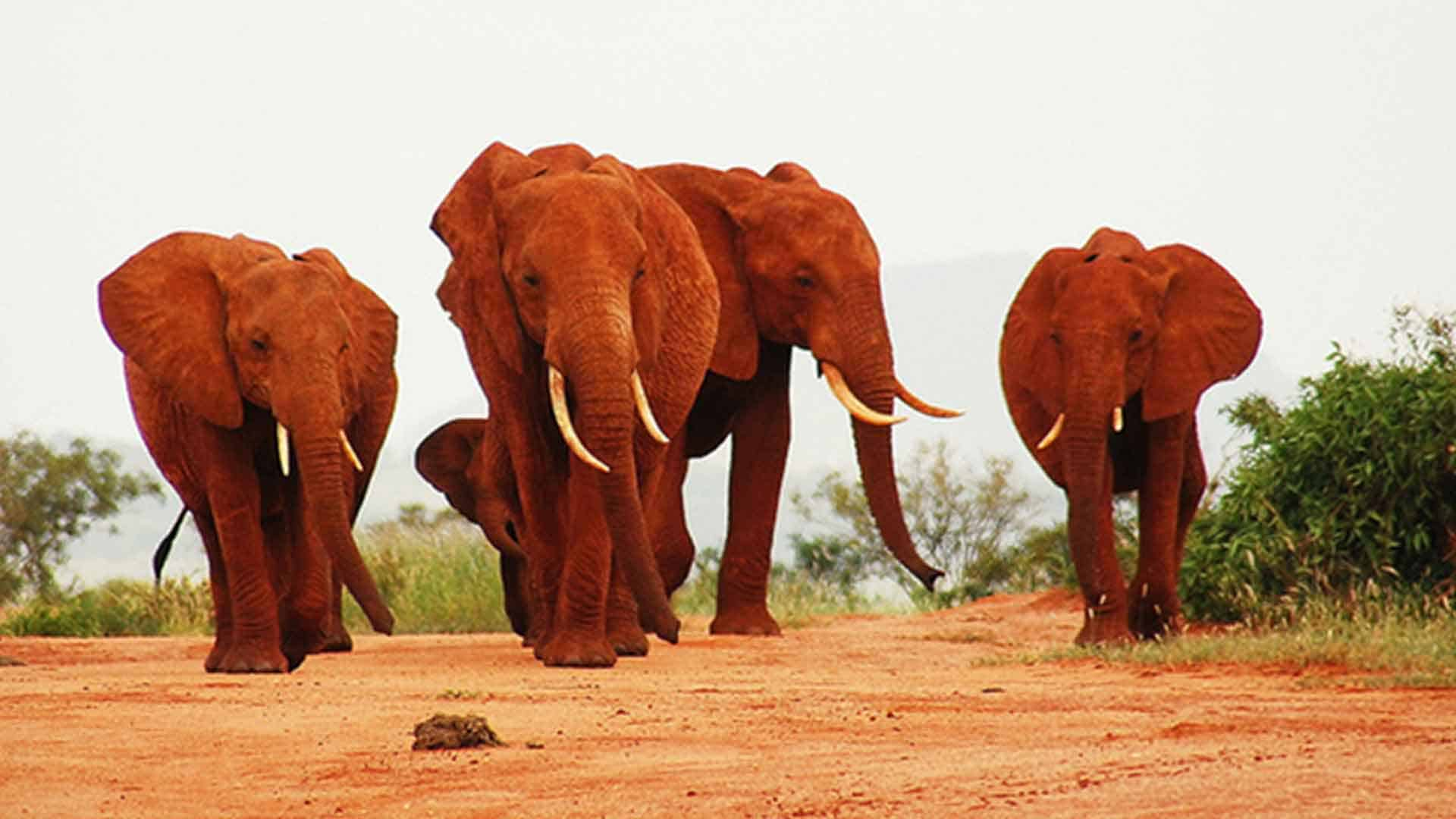 a line of elephants walk down the road on a safari trips to africa vacation