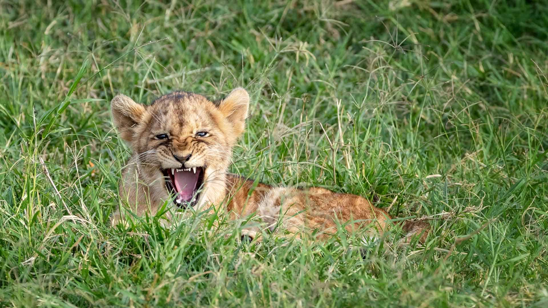 Very young lion cub looking fierce on great migration african safari