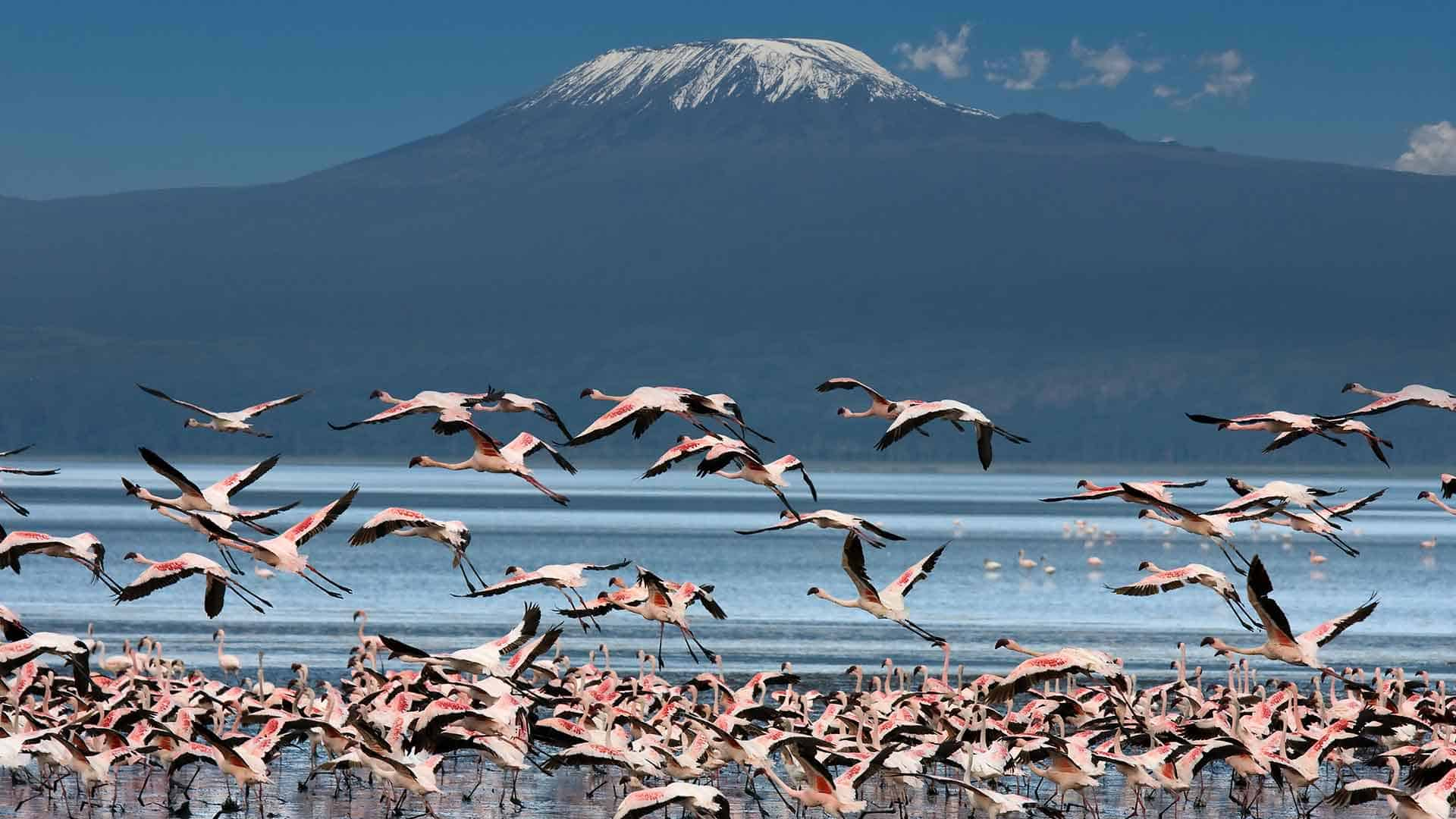 flamingos fly over a lake in fornt of kilimanjaro on an african safari trip