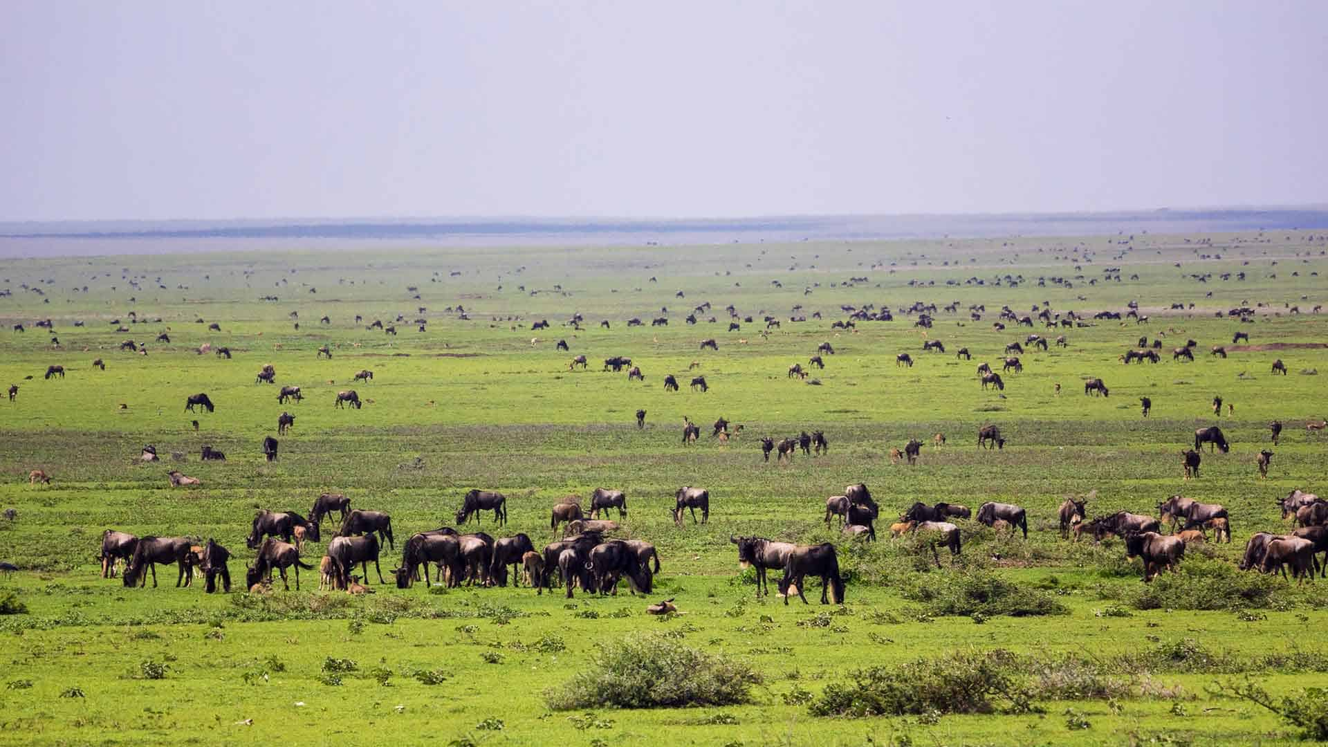 large herd of wildebeest on great migration african safari