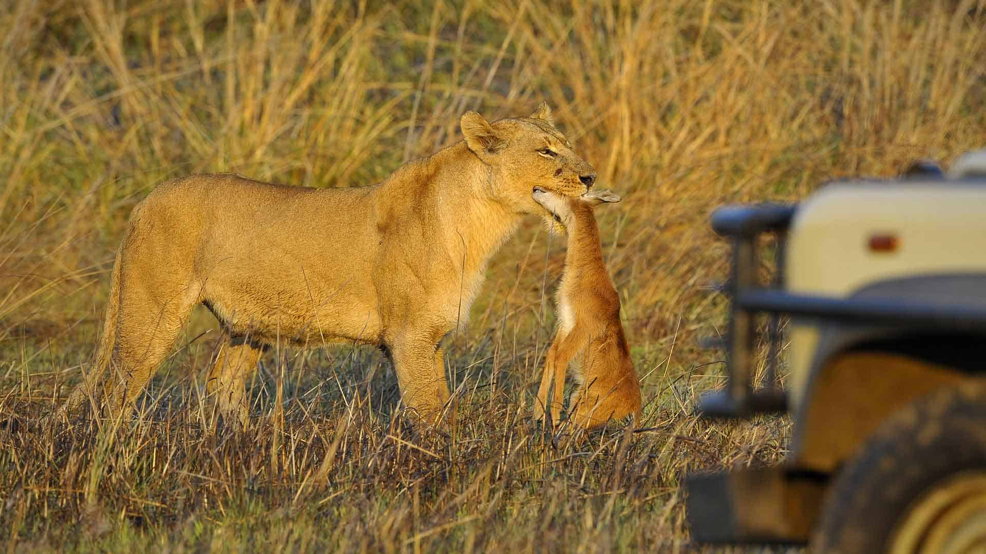 Lioness with fresh kill in her mouth walks past safari vehicle