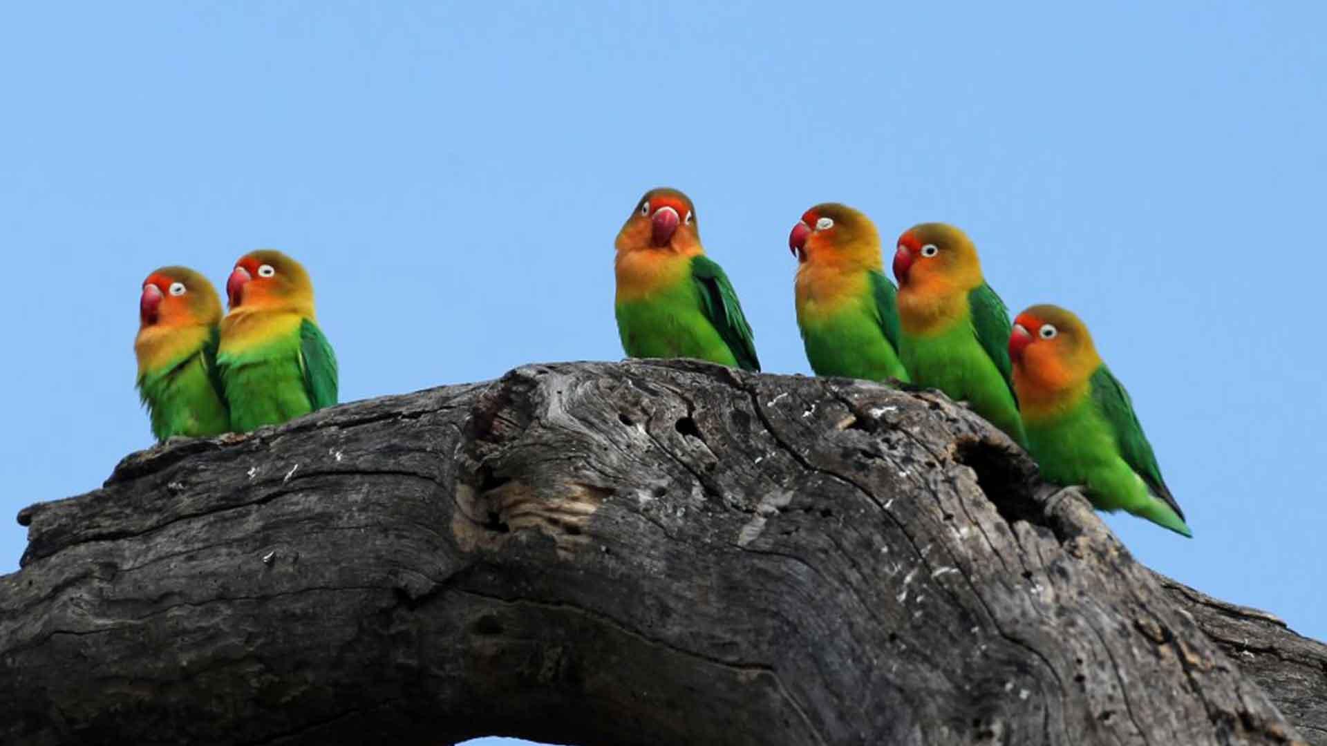 Love birds sitting on a log in Serengeti National park on tanzania safari tour