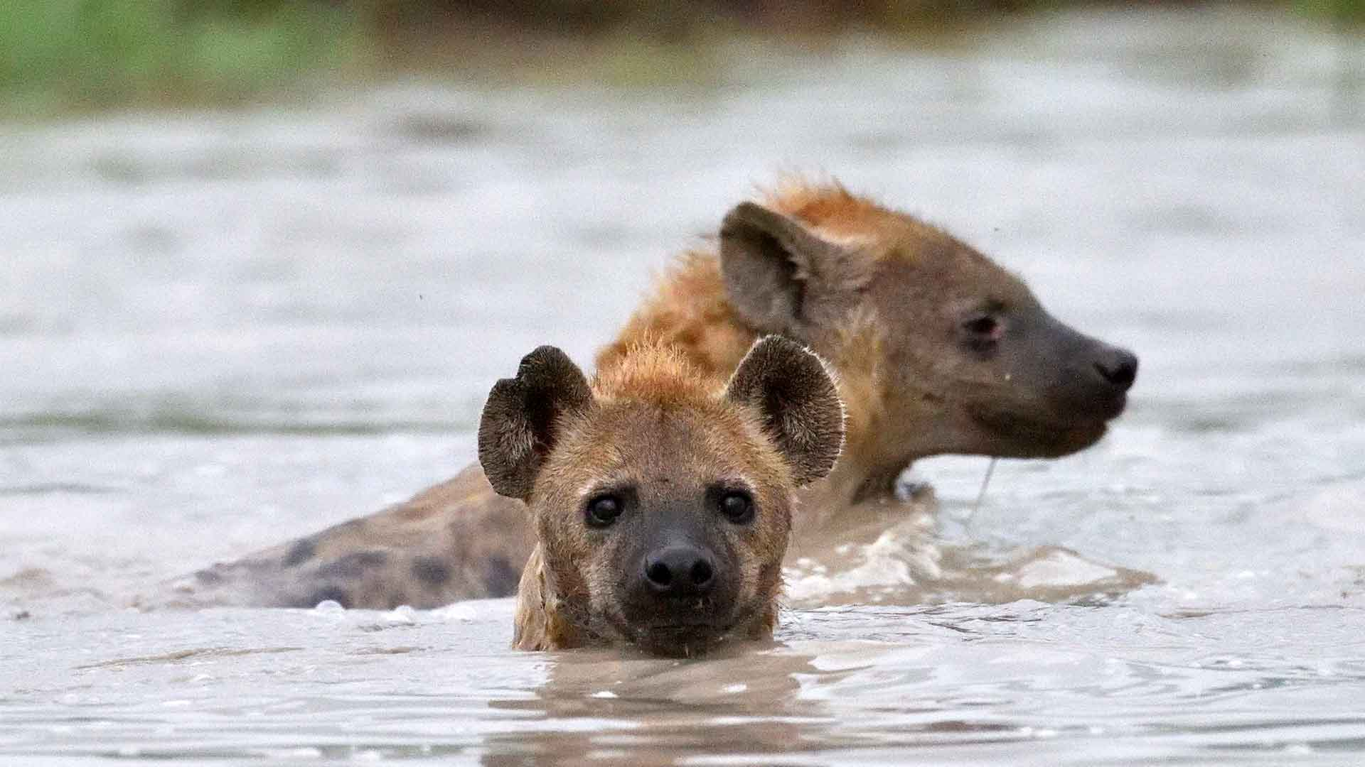 Hyenas taking a cool down swim in a small waterhole on safari tour to tanzania