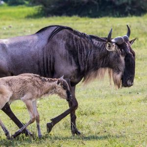 Mother wildebeest and her calf walk through the savanna on a 6 day Serengeti Safari trip to Africa