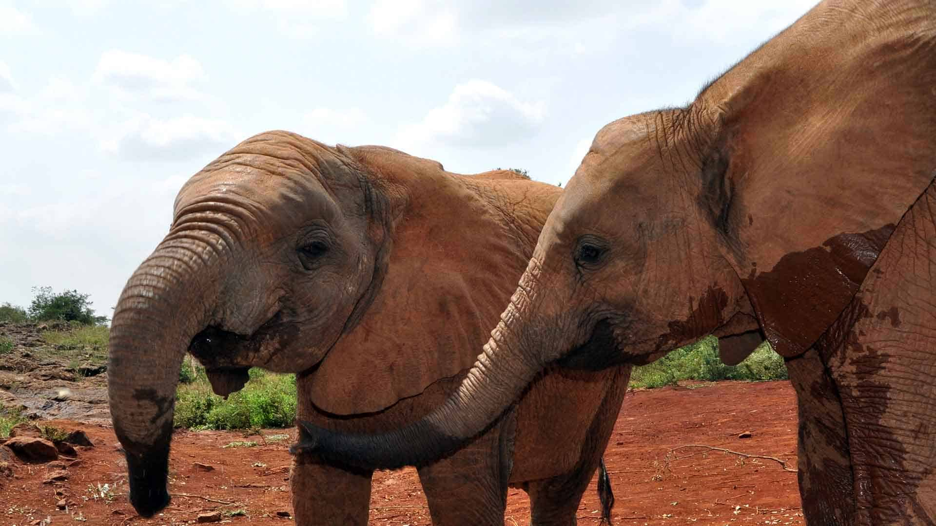 two young elephants with wet trunks on an african safari vacation